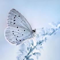 Blue  by Violetta Honkisz