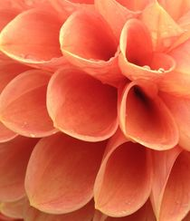 Apricot Dahlias in the rain by Ruth Baker