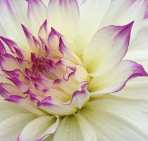 Wedding Dahlias by Ruth Baker