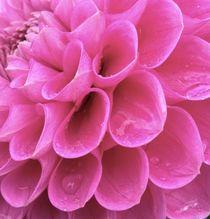 Close up Dahlia