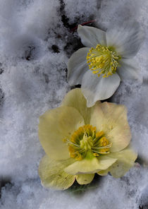 'Snow rose - Christrose' von Chris Berger