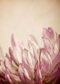 Klee Blüte von Josephine Mayer-Hartmann