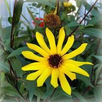 Yellow-rays-bun