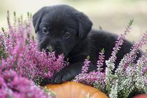 Labrador Welpe / 60 von Heidi Bollich