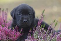Labrador Welpe / 59 von Heidi Bollich