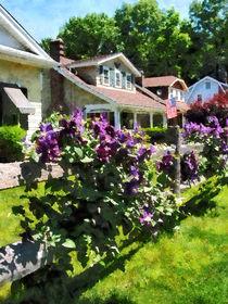 Purple Clematis on Rustic Fence von Susan Savad