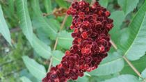 Fuzzy berries by Robert Peterson