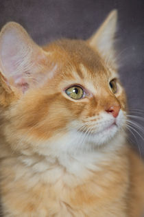 Somali Kitten / 9 by Heidi Bollich