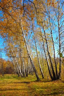 Birch grove in autumn.  by Yuri Hope