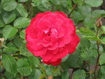 Rote Rose von Angelika  Schütgens
