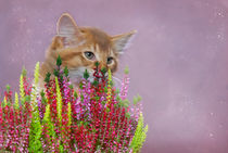 Somali Kitten / 11 by Heidi Bollich