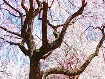 Sigfa-cherrytreecloseup