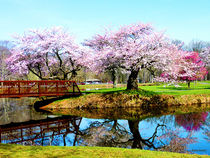 Cherry Trees in the Park by Susan Savad