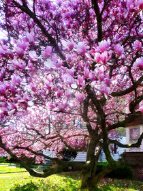 Magnificant Magnolias von Susan Savad