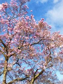 Sig-magnoliaagainstthesky