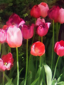 Pink Tulips in Garden by Susan Savad