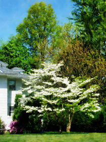 White Flowering Tree by Susan Savad
