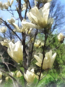 White Magnolia Branches by Susan Savad