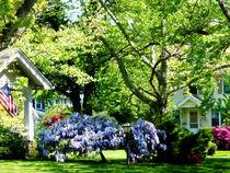 Wisteria on Lawn by Susan Savad