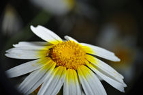 Wild Daisy Flower by Angelo DeVal