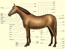 Horse anatomy - Body parts von William Rossin