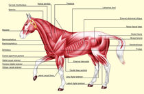 Horse anatomy muscles by William Rossin