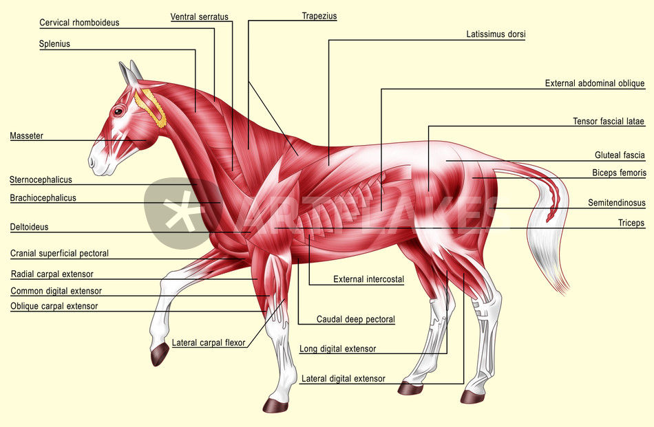 Horse anatomy muscles\