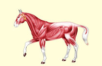 Horse anatomy muscles - No text von William Rossin