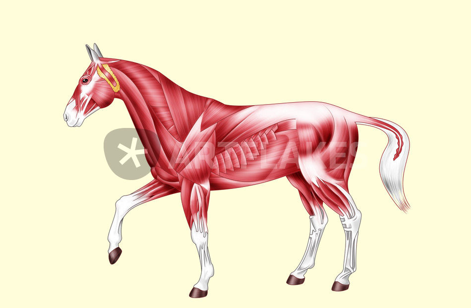 Horse anatomy muscles - No text\