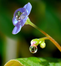 Drops on the forget-me-not von Yuri Hope