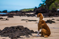 Fijian Dog on the beach von Belinda Philipp