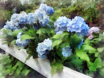 Blue Hydrangea on White Fence by Susan Savad