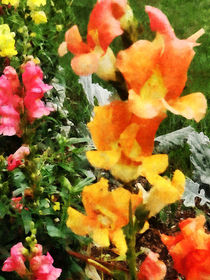 Gft-colorfulsnapdragons