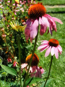 Coneflowers in Garden by Susan Savad