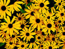 Field of Black-Eyed Susans by Susan Savad