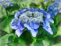 Sig-bluelacecaphydrangealetsdancestarlight