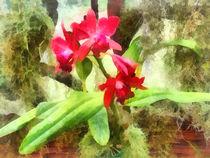 Fa-marooncattleyaorchids