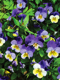 Pansies by Susan Savad