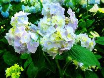 Lavender Hydrangea in Garden von Susan Savad