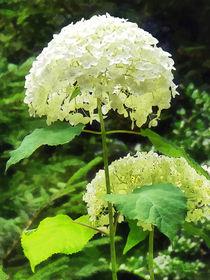 White Hydrangea in Garden von Susan Savad