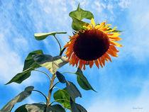 Sig-sunflowerandsky