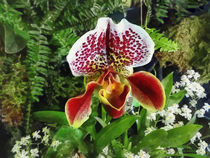 Paph Fiordland Sunset Orchid by Susan Savad