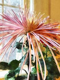 Spider Mum Pink Splendor von Susan Savad