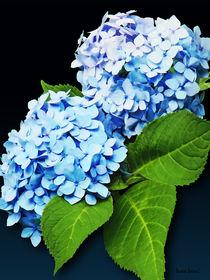 Blue Hydrangea Profile by Susan Savad