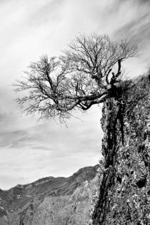 Bergkiefer von georgfotoart