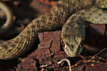 Wild snake Malpolon Monspessulanus in a tree trunk von Angelo DeVal