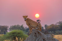 Cheetah at Sunset by Graham Prentice
