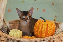 Abessinier Kitten / 17 by Heidi Bollich
