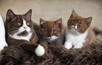 Britisch Kurzhaar Kittens / 3 von Heidi Bollich