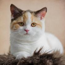 Britisch Kurzhaar Kitten / 52 von Heidi Bollich